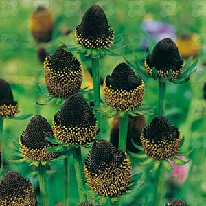 Rudbeckia, Black Beauty, brun-svart